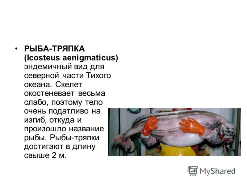 РЫБА-ТРЯПКА (Icosteus aenigmaticus) эндемичный вид для северной части Тихого океана. Скелет окостеневает весьма слабо, поэтому тело очень податливо на изгиб, откуда и произошло название рыбы. Рыбы-тряпки достигают в длину свыше 2 м.