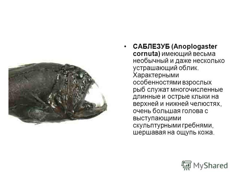САБЛЕЗУБ (Anoplogaster cornuta) имеющий весьма необычный и даже несколько устрашающий облик. Характерными особенностями взрослых рыб служат многочисленные длинные и острые клыки на верхней и нижней челюстях, очень большая голова с выступающими скульп