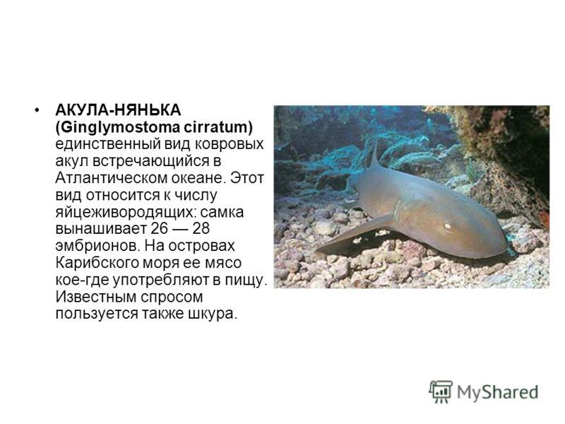 АКУЛА-НЯНЬКА (Ginglymostoma cirratum) единственный вид ковровых акул встречающийся в Атлантическом океане. Этот вид относится к числу яйцеживородящих: самка вынашивает 26 28 эмбрионов. На островах Карибского моря ее мясо кое-где употребляют в пищу. И