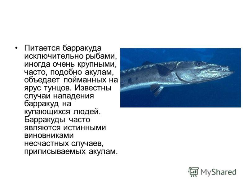 Питается барракуда исключительно рыбами, иногда очень крупными, часто, подобно акулам, объедает пойманных на ярус тунцов. Известны случаи нападения барракуд на купающихся людей. Барракуды часто являются истинными виновниками несчастных случаев, припи