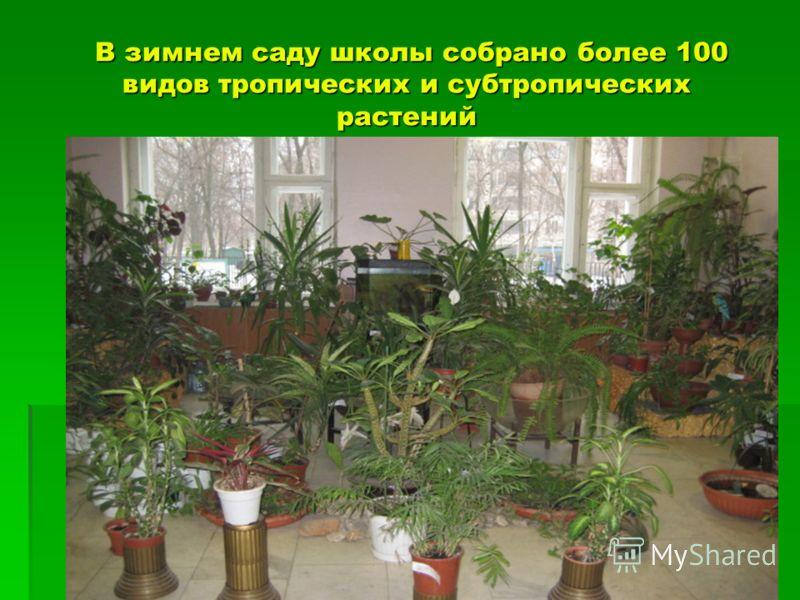 В зимнем саду школы собрано более 100 видов тропических и субтропических растений В зимнем саду школы собрано более 100 видов тропических и субтропических растений