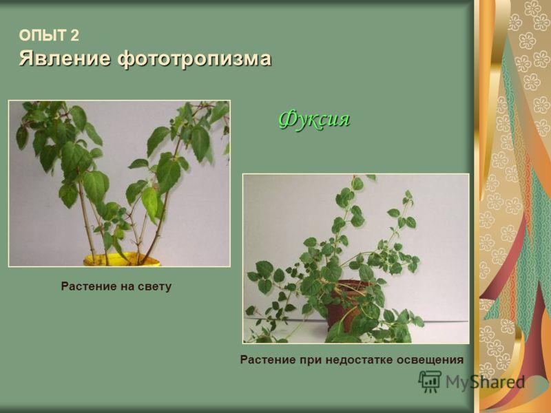 Явление фототропизма ОПЫТ 2 Явление фототропизма Растение на свету Растение при недостатке освещения Фуксия