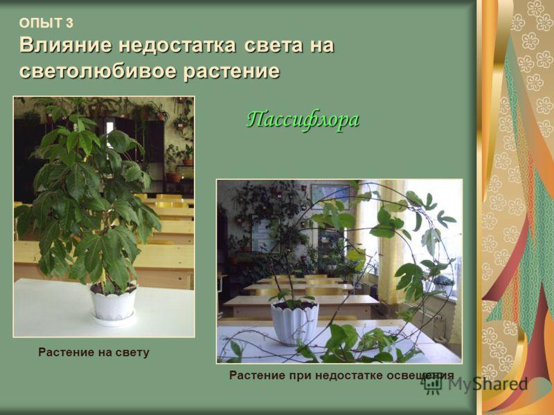 Влияние недостатка света на светолюбивое растение ОПЫТ 3 Влияние недостатка света на светолюбивое растение Растение на свету Растение при недостатке освещения Пассифлора