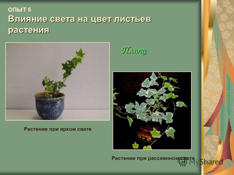 Влияние света на цвет листьев растения ОПЫТ 5 Влияние света на цвет листьев растения Плющ Растение при ярком свете Растение при рассеянном свете