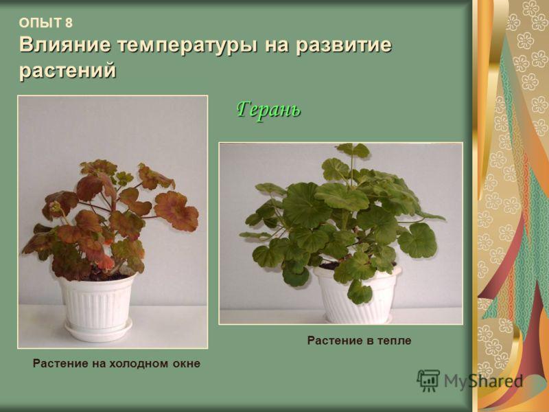 Влияние температуры на развитие растений ОПЫТ 8 Влияние температуры на развитие растений Герань Растение на холодном окне Растение в тепле