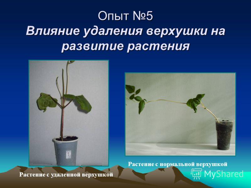 Опыт 5 Влияние удаления верхушки на развитие растения Растение с удаленной верхушкой Растение с нормальной верхушкой