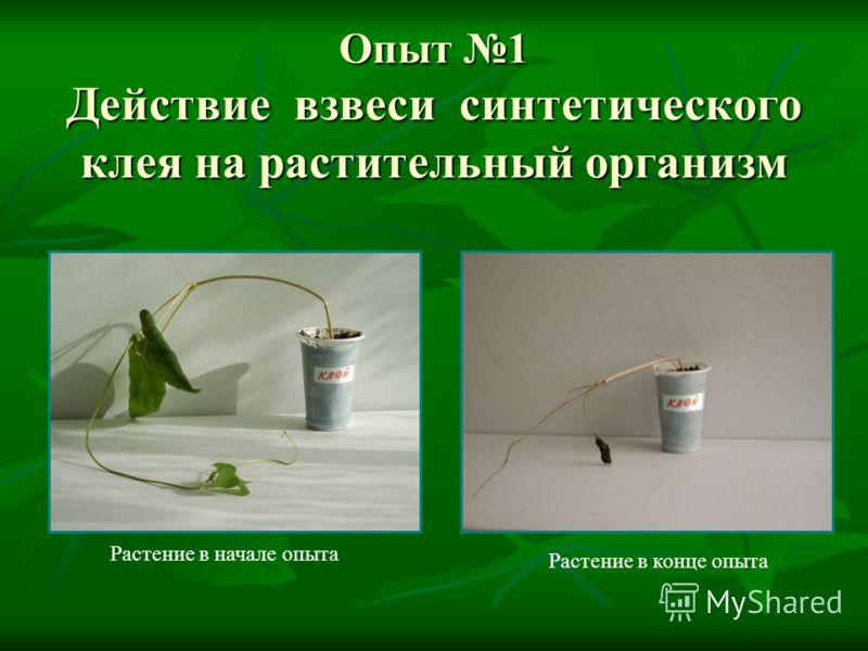 Опыт 1 Действие взвеси синтетического клея на растительный организм Растение в конце опыта Растение в начале опыта