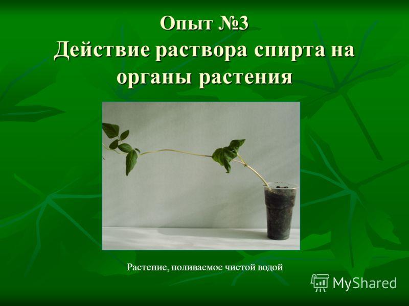 Опыт 3 Действие раствора спирта на органы растения Растение, поливаемое чистой водой