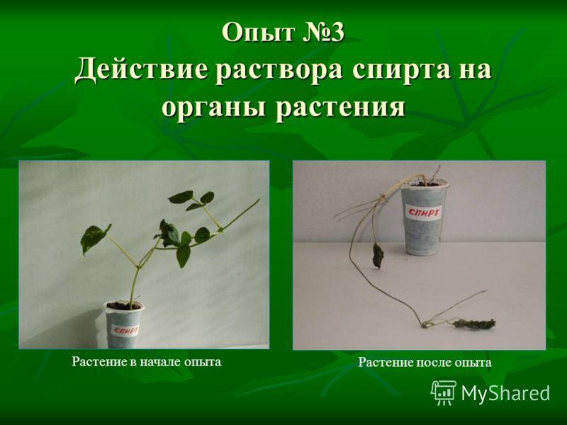 Опыт 3 Действие раствора спирта на органы растения Растение после опыта Растение в начале опыта