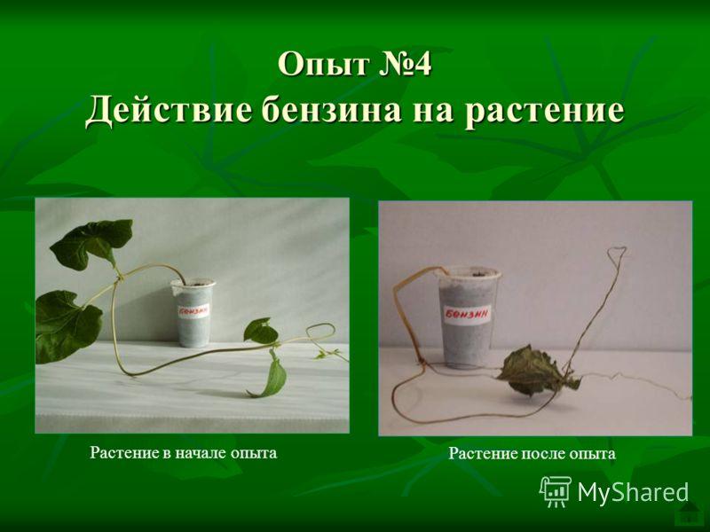 Опыт 4 Действие бензина на растение Растение после опыта Растение в начале опыта