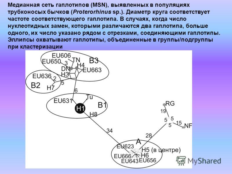 Медианная сеть гаплотипов (MSN), выявленных в популяциях трубконосых бычков (Proterorhinus sp.). Диаметр круга соответствует частоте соответствующего гаплотипа. В случаях, когда число нуклеотидных замен, которыми различаются два гаплотипа, больше одн