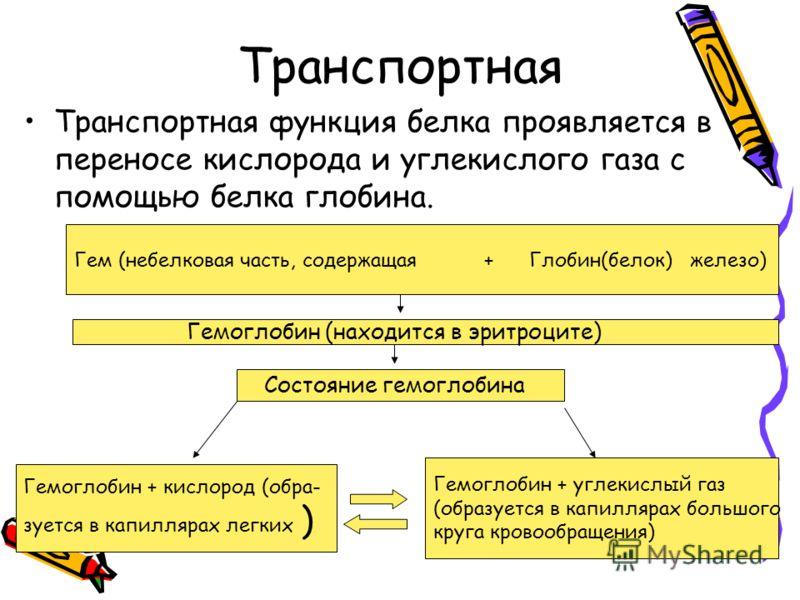Транспортная Транспортная функция белка проявляется в переносe кислорода и углекислого газа с помощью белка глобина. Гем (небелковая часть, содержащая + Глобин(белок) железо) Гемоглобин (находится в эритроците) Состояние гемоглобина Гемоглобин + кисл