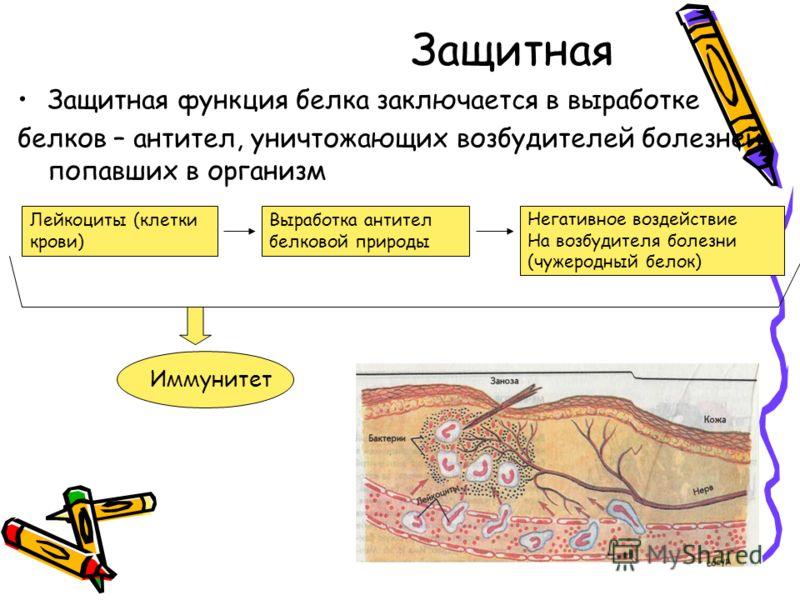 Защитная Защитная функция белка заключается в выработке белков – антител, уничтожающих возбудителей болезней, попавших в организм Лейкоциты (клетки крови) Выработка антител белковой природы Негативное воздействие На возбудителя болезни (чужеродный бе