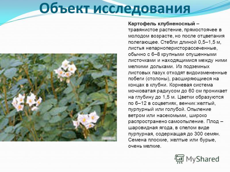 Объект исследования Картофель клубненосный – травянистое растение, прямостоячее в молодом возрасте, но после отцветания полегающее. Стебли длиной 0,5–1,5 м, листья непарноперисторассеченные, обычно с 6–8 крупными опушенными листочками и находящимися