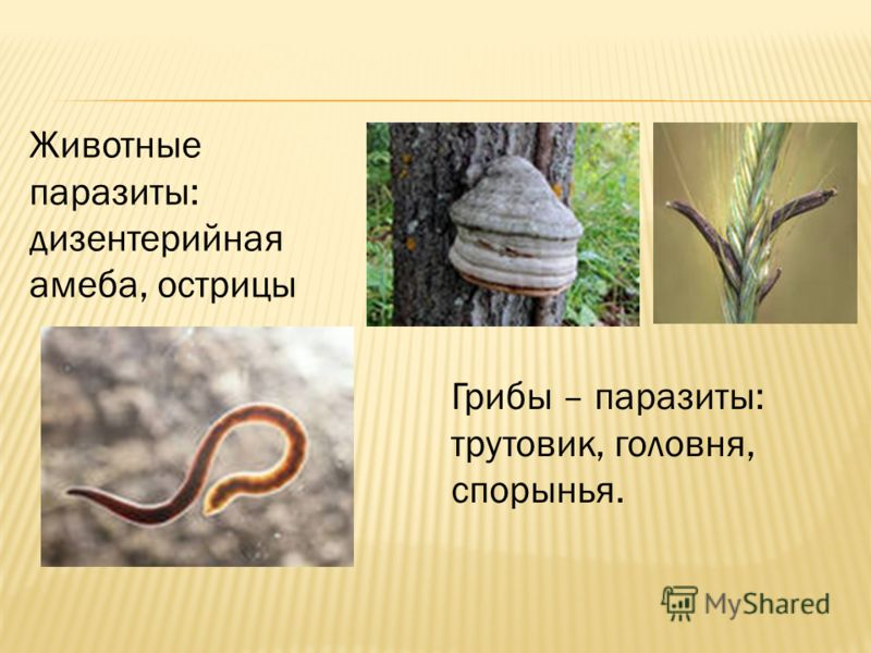 Животные паразиты: дизентерийная амеба, острицы Грибы – паразиты: трутовик, головня, спорынья.