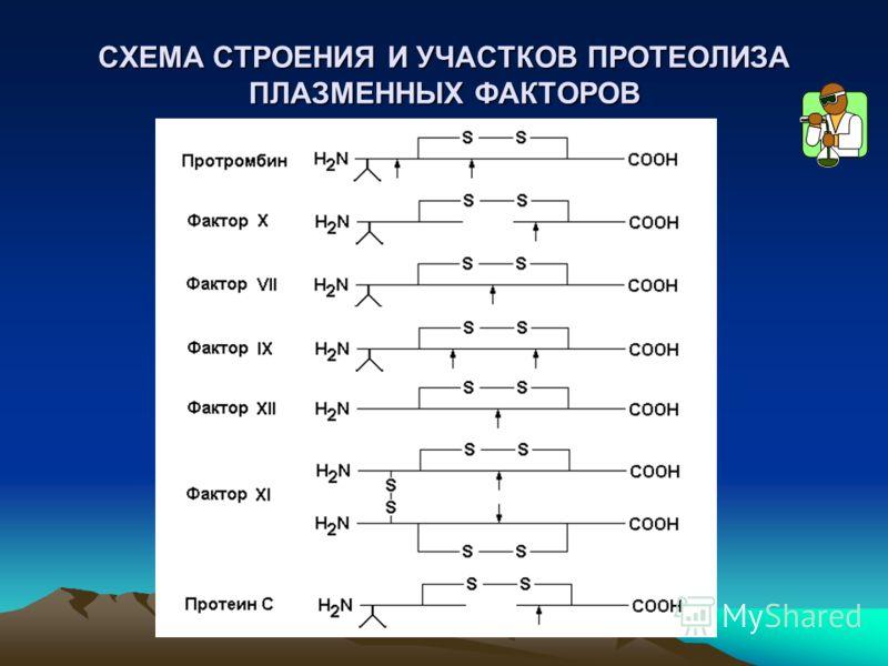 СХЕМА СТРОЕНИЯ И УЧАСТКОВ ПРОТЕОЛИЗА ПЛАЗМЕННЫХ ФАКТОРОВ