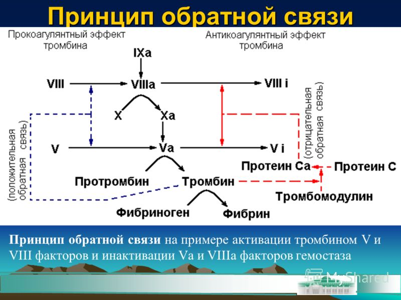 Принцип обратной связи Принцип обратной связи на примере активации тромбином V и VIII факторов и инактивации Vа и VIIIа факторов гемостаза