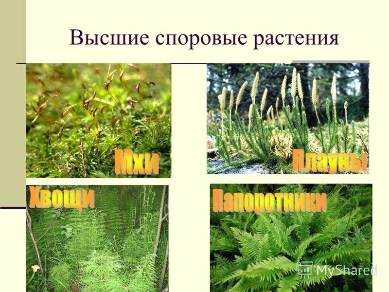 Высшие споровые растения