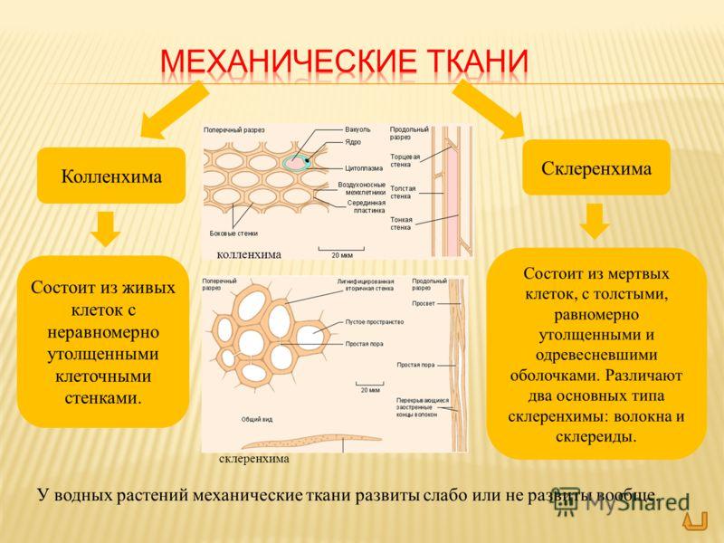 Колленхима Склеренхима Состоит из мертвых клеток, с толстыми, равномерно утолщенными и одревесневшими оболочками. Различают два основных типа склеренхимы: волокна и склереиды. Состоит из живых клеток с неравномерно утолщенными клеточными стенками. У