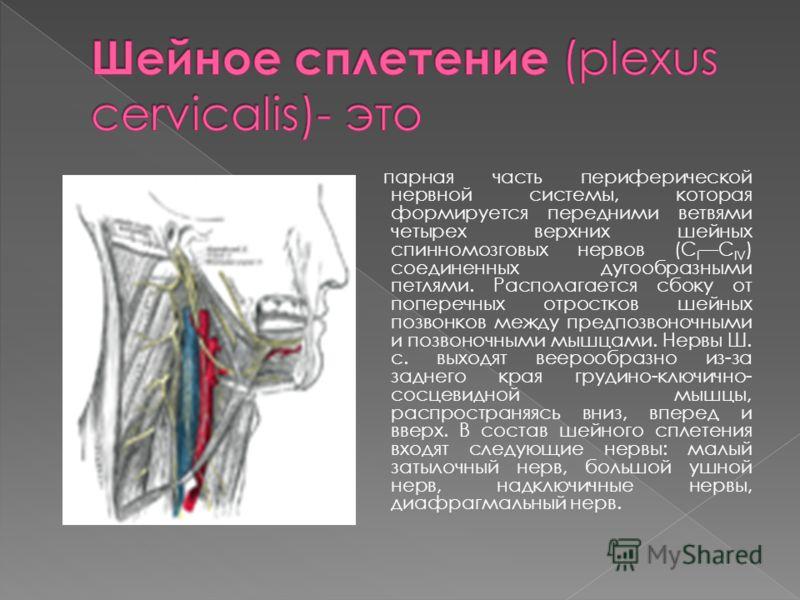 парная часть периферической нервной системы, которая формируется передними ветвями четырех верхних шейных спинномозговых нервов (C I C IV ) соединенных дугообразными петлями. Располагается сбоку от поперечных отростков шейных позвонков между предпозв