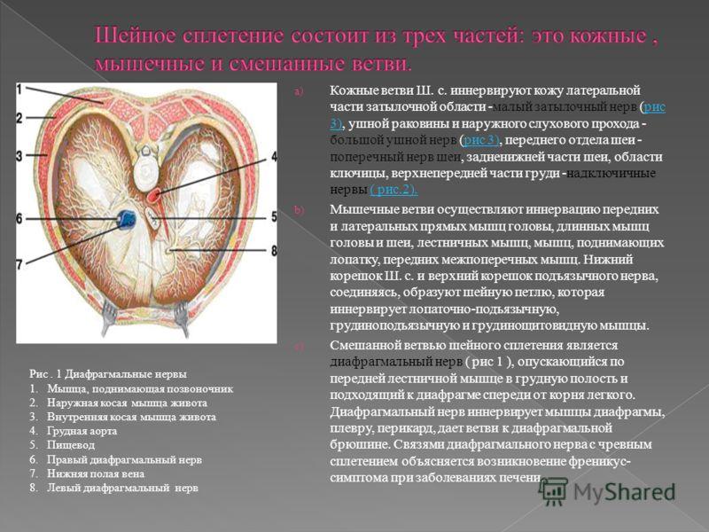 a) Кожные ветви Ш. с. иннервируют кожу латеральной части затылочной области -малый затылочный нерв (рис 3), ушной раковины и наружного слухового прохода - большой ушной нерв (рис 3), переднего отдела шеи - поперечный нерв шеи, задненижней части шеи,