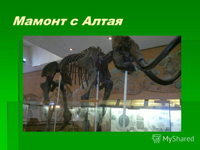 Мамонт с Алтая