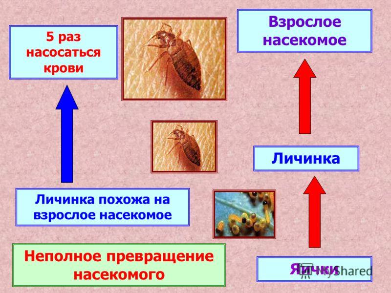 Яички Личинка Взрослое насекомое Неполное превращение насекомого Личинка похожа на взрослое насекомое 5 раз насосаться крови