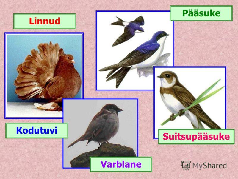 Linnud Suitsupääsuke Varblane Kodutuvi Pääsuke