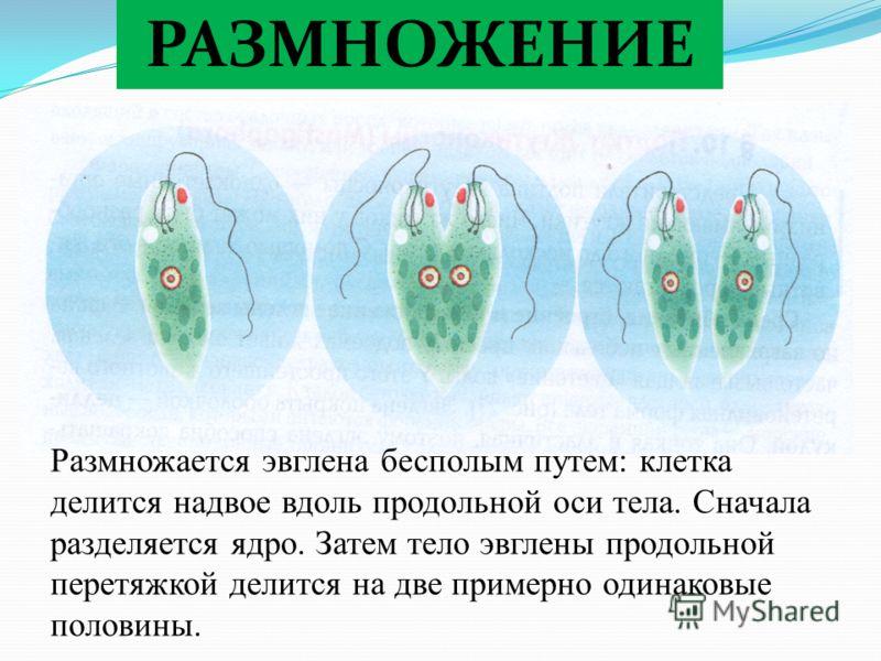 РАЗМНОЖЕНИЕ Размножается эвглена бесполым путем: клетка делится надвое вдоль продольной оси тела. Сначала разделяется ядро. Затем тело эвглены продольной перетяжкой делится на две примерно одинаковые половины.