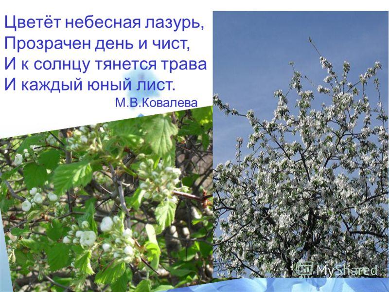 Цветёт небесная лазурь, Прозрачен день и чист, И к солнцу тянется трава И каждый юный лист. М.В.Ковалева