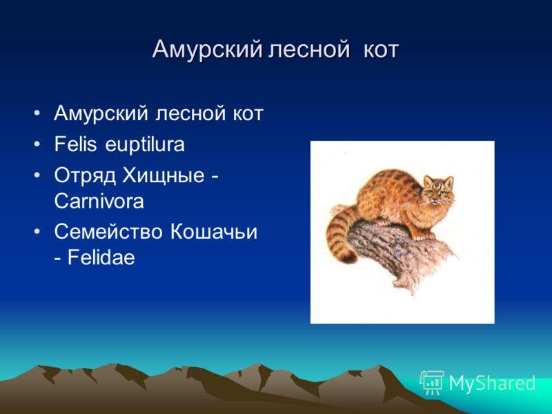 Амурский леcной кот Амурский лесной кот Felis euptilura Отряд Хищные - Carnivora Семейство Кошачьи - Felidae