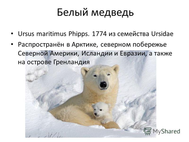 Белый медведь Ursus maritimus Phipps. 1774 из семейства Ursidae Распространён в Арктике, северном побережье Северной Америки, Исландии и Евразии, а также на острове Гренландия