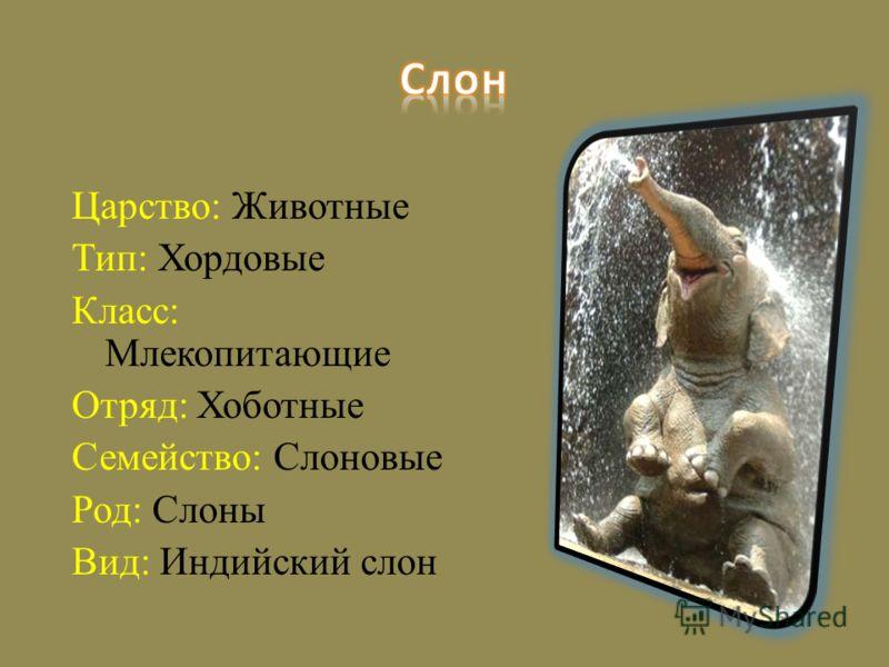 Царство: Животные Тип: Хордовые Класс: Млекопитающие Отряд: Хоботные Семейство: Слоновые Род: Слоны Вид: Индийский слон