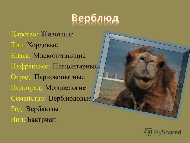 Царство: Животные Тип: Хордовые Класс: Млекопитающие Инфракласс: Плацентарные Отряд: Парнокопытные Подотряд: Мозоленогие Семейство: Верблюдовые Род: Верблюды Вид: Бактриан
