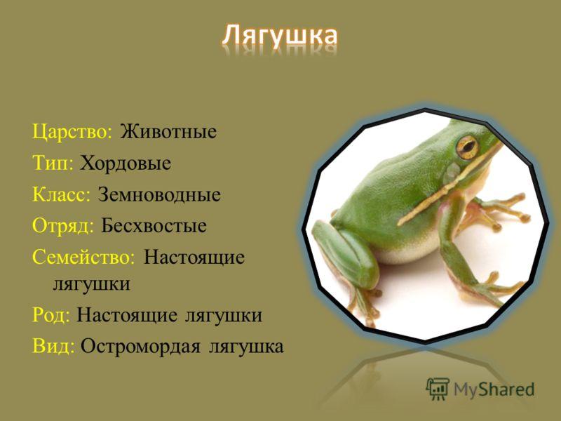 Царство: Животные Тип: Хордовые Класс: Земноводные Отряд: Бесхвостые Семейство: Настоящие лягушки Род: Настоящие лягушки Вид: Остромордая лягушка