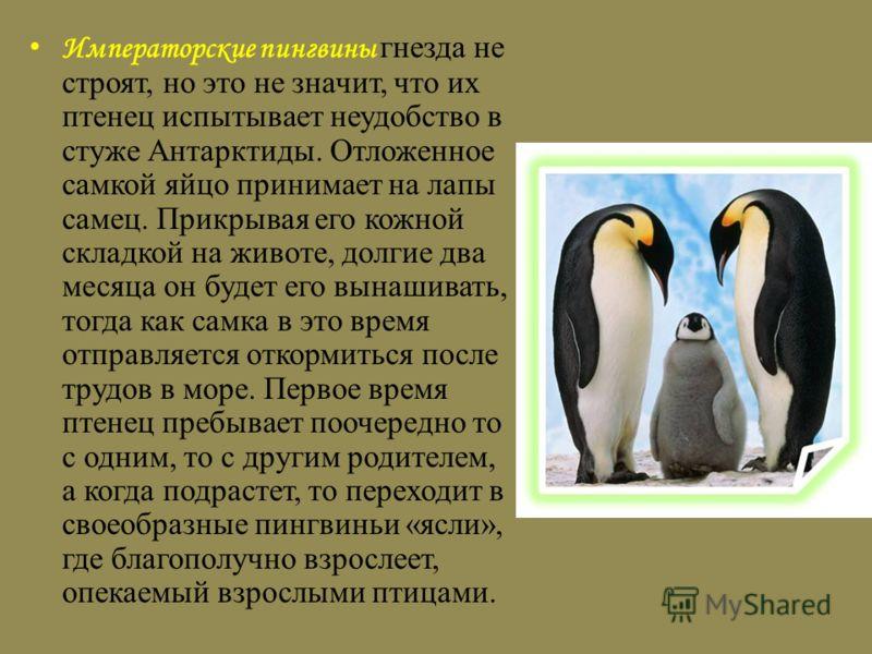 Императорские пингвины гнезда не строят, но это не значит, что их птенец испытывает неудобство в стуже Антарктиды. Отложенное самкой яйцо принимает на лапы самец. Прикрывая его кожной складкой на животе, долгие два месяца он будет его вынашивать, тог