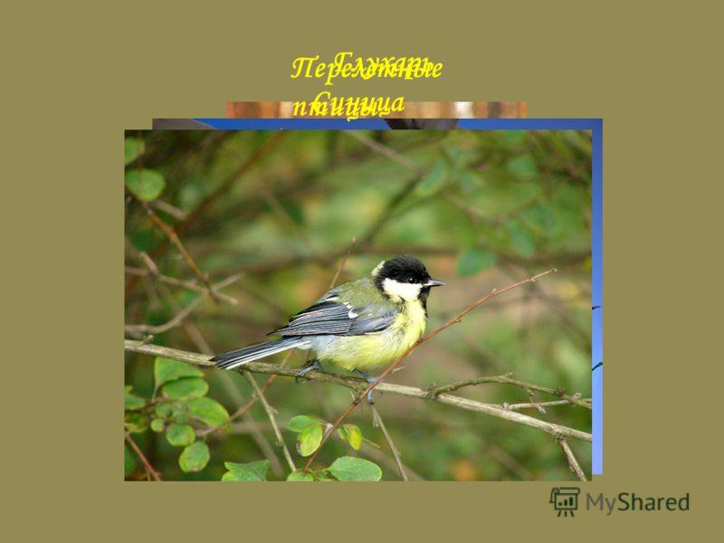 Глухарь Перелетные птицы Синица