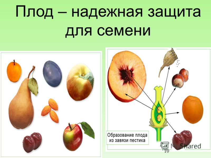 Плод – надежная защита для семени 15.10.2012 10