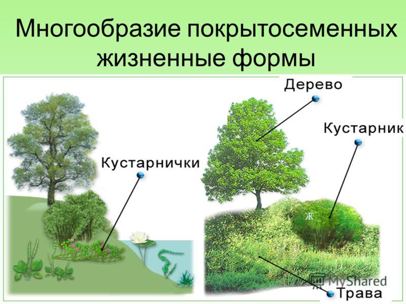 Многообразие покрытосеменных жизненные формы 15.10.2012 3 Ж