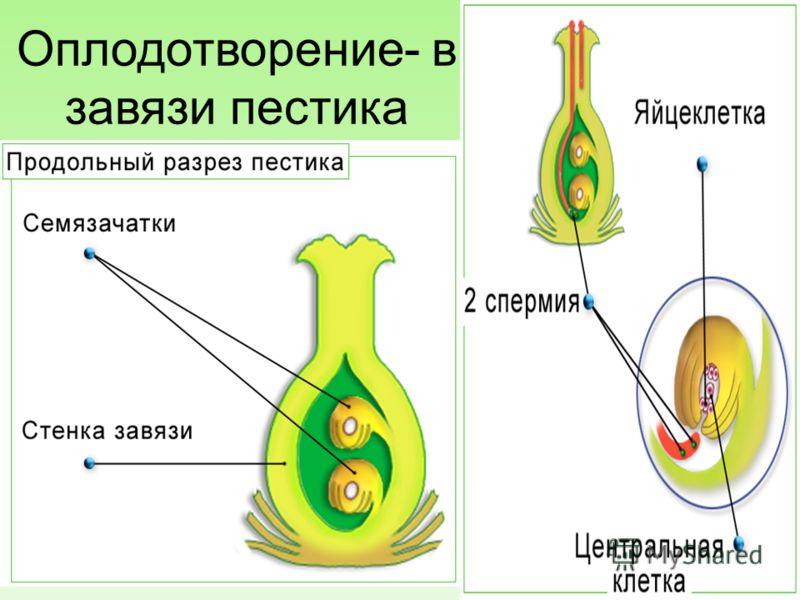 Оплодотворение- в завязи пестика 15.10.2012 9