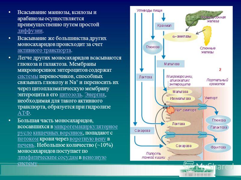 Всасывание маннозы, ксилозы и арабинозы осуществляется преимущественно путем простой диффузии. диффузии Всасывание же большинства других моносахаридов происходит за счет активного транспорта. активного транспорта Легче других моносахаридов всасываютс