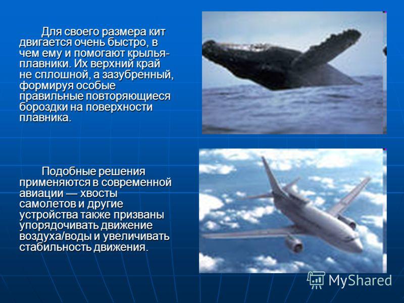Для своего размера кит двигается очень быстро, в чем ему и помогают крылья- плавники. Их верхний край не сплошной, а зазубренный, формируя особые правильные повторяющиеся бороздки на поверхности плавника. Для своего размера кит двигается очень быстро