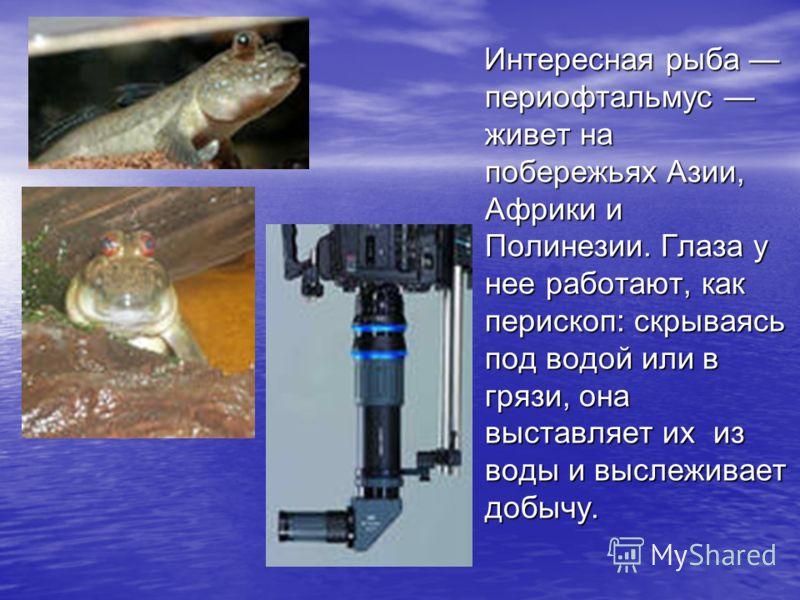 Интересная рыба периофтальмус живет на побережьях Азии, Африки и Полинезии. Глаза у нее работают, как перископ: скрываясь под водой или в грязи, она выставляет их из воды и выслеживает добычу. Интересная рыба периофтальмус живет на побережьях Азии, А