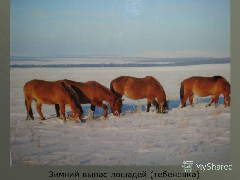 Зимний выпас лошадей (тебеневка)