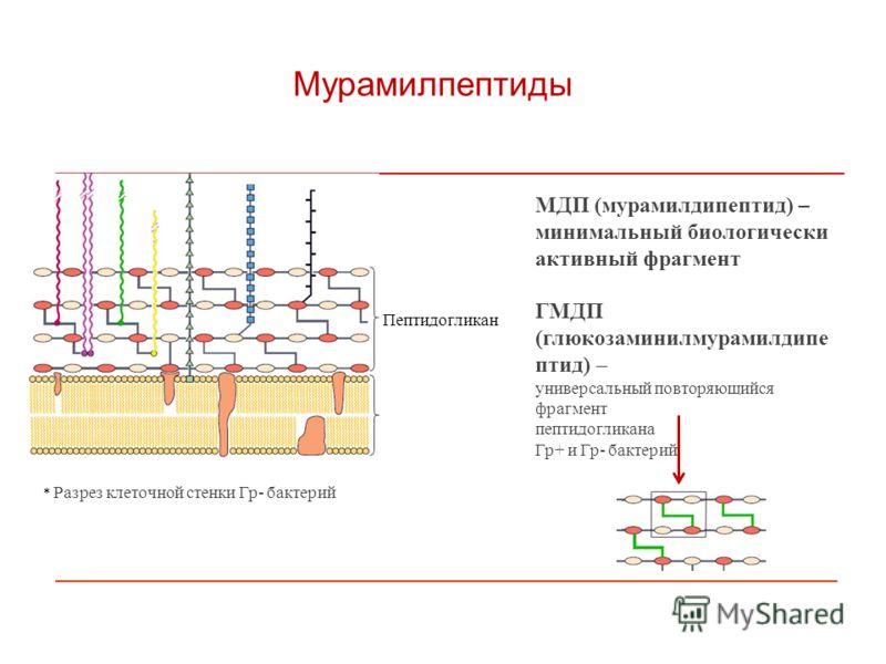 Мурамилпептиды МДП (мурамилдипептид) – минимальный биологически активный фрагмент ГМДП (глюкозаминилмурамилдипе птид) – универсальный повторяющийся фрагмент пептидогликана Гр+ и Гр- бактерий * Разрез клеточной стенки Гр- бактерий Пептидогликан