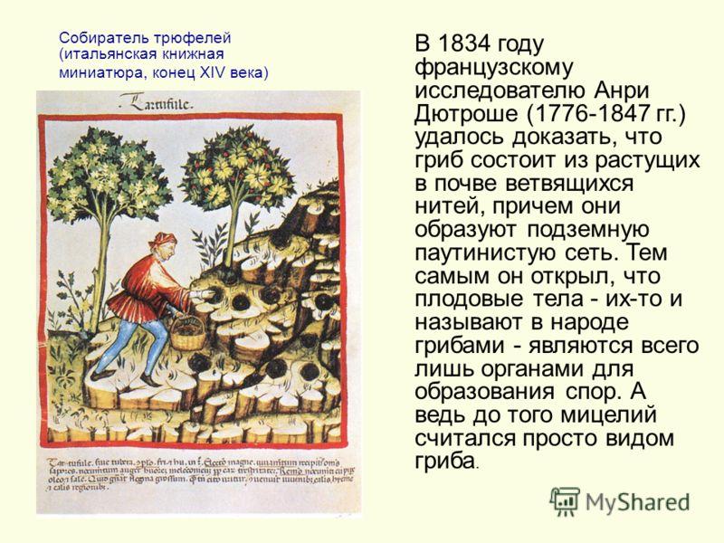 Собиратель трюфелей (итальянская книжная миниатюра, конец XIV века) В 1834 году французскому исследователю Анри Дютроше (1776-1847 гг.) удалось доказать, что гриб состоит из растущих в почве ветвящихся нитей, причем они образуют подземную паутинистую