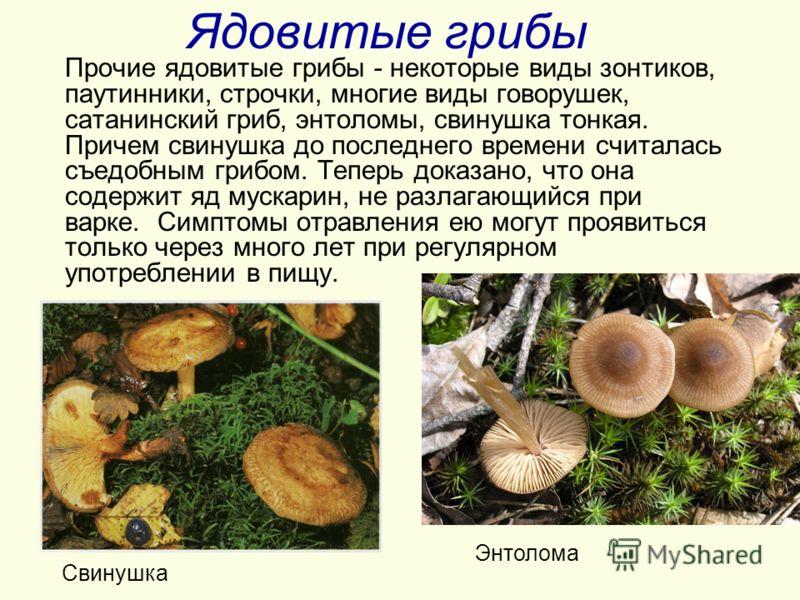 свинушка гриб фото приготовление