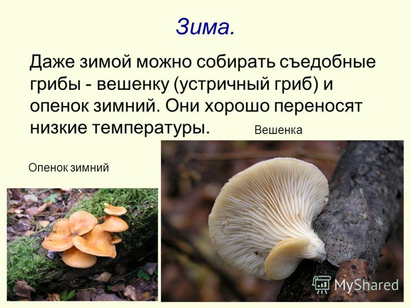 Зима. Даже зимой можно собирать съедобные грибы - вешенку (устричный гриб) и опенок зимний. Они хорошо переносят низкие температуры. Опенок зимний Вешенка