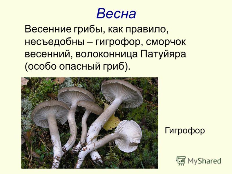 Весна Весенние грибы, как правило, несъедобны – гигрофор, сморчок весенний, волоконница Патуйяра (особо опасный гриб). Гигрофор