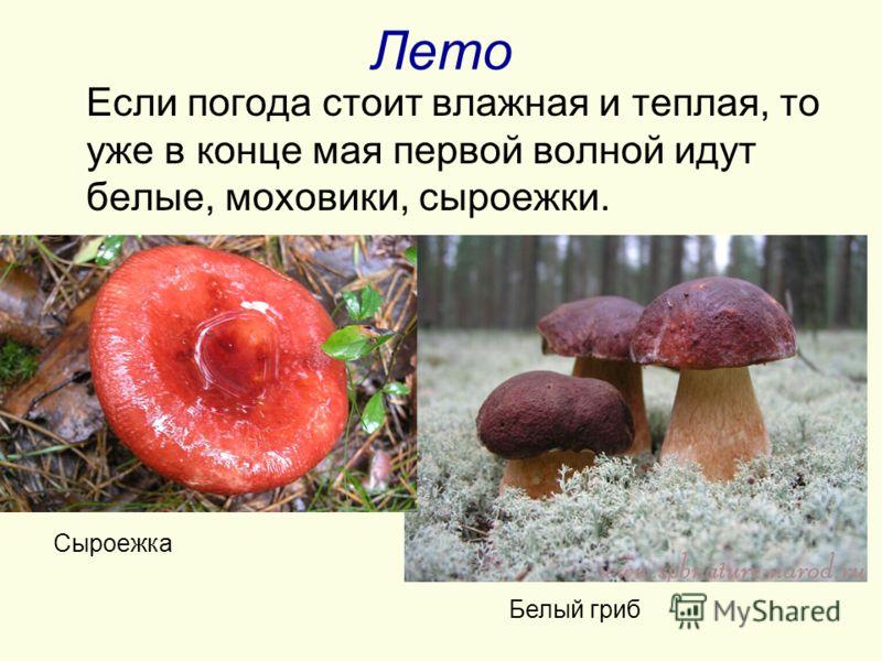 Лето Если погода стоит влажная и теплая, то уже в конце мая первой волной идут белые, моховики, сыроежки. Белый гриб Сыроежка
